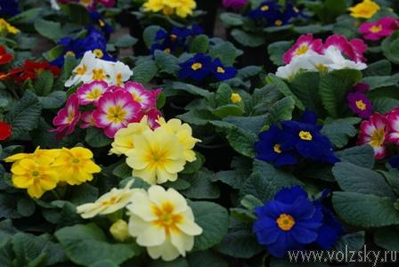 В «райском саду» распустились первоцветы