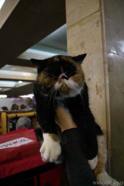 В Волжском прошла выставка кошек «Новогодний котомур»