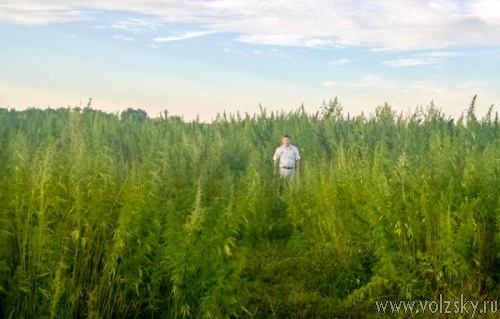 В Волгоградской области уничтожили тонну конопли