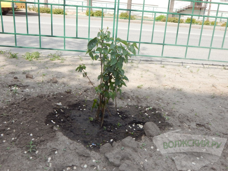 В Волжском вандалы залили «Сирень Победы» соляркой
