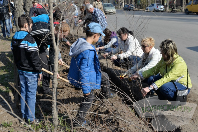 В Волжском высаживают 3000 вязов