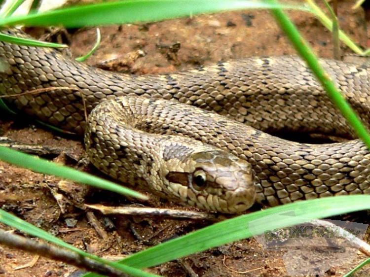 Экологи Волго-Ахтубинской поймы просят неубивать змей