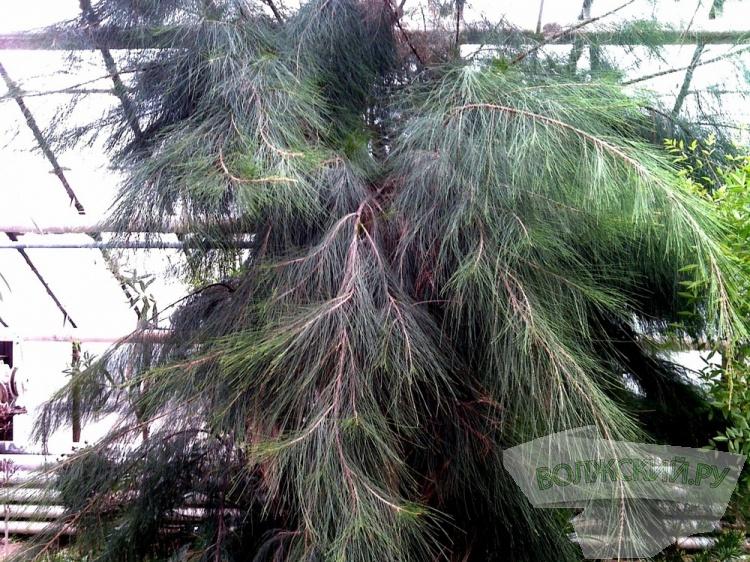 Волгоградцев приглашают познакомиться сэоловым деревом