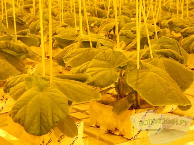 «Ботаника» запустила новый рассадный комплекс для огурцов