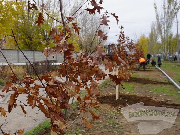 В Волжском высадили 50 «красных» дубов