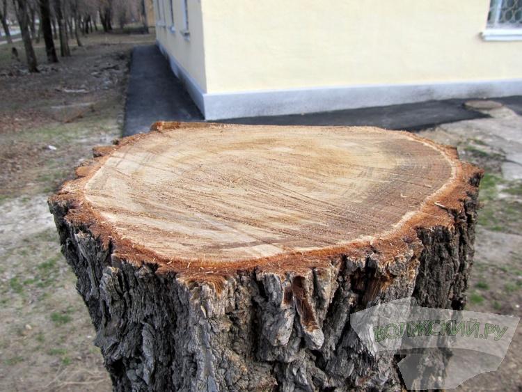 Волжане обеспокоены «варварской» обрезкой деревьев