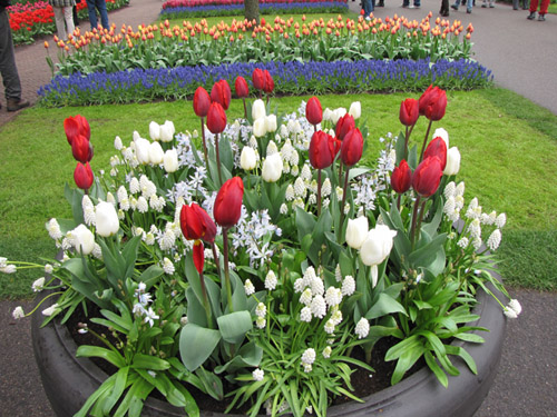 можно ли сажать тюльпаны в ноябре компания Glissade Франции